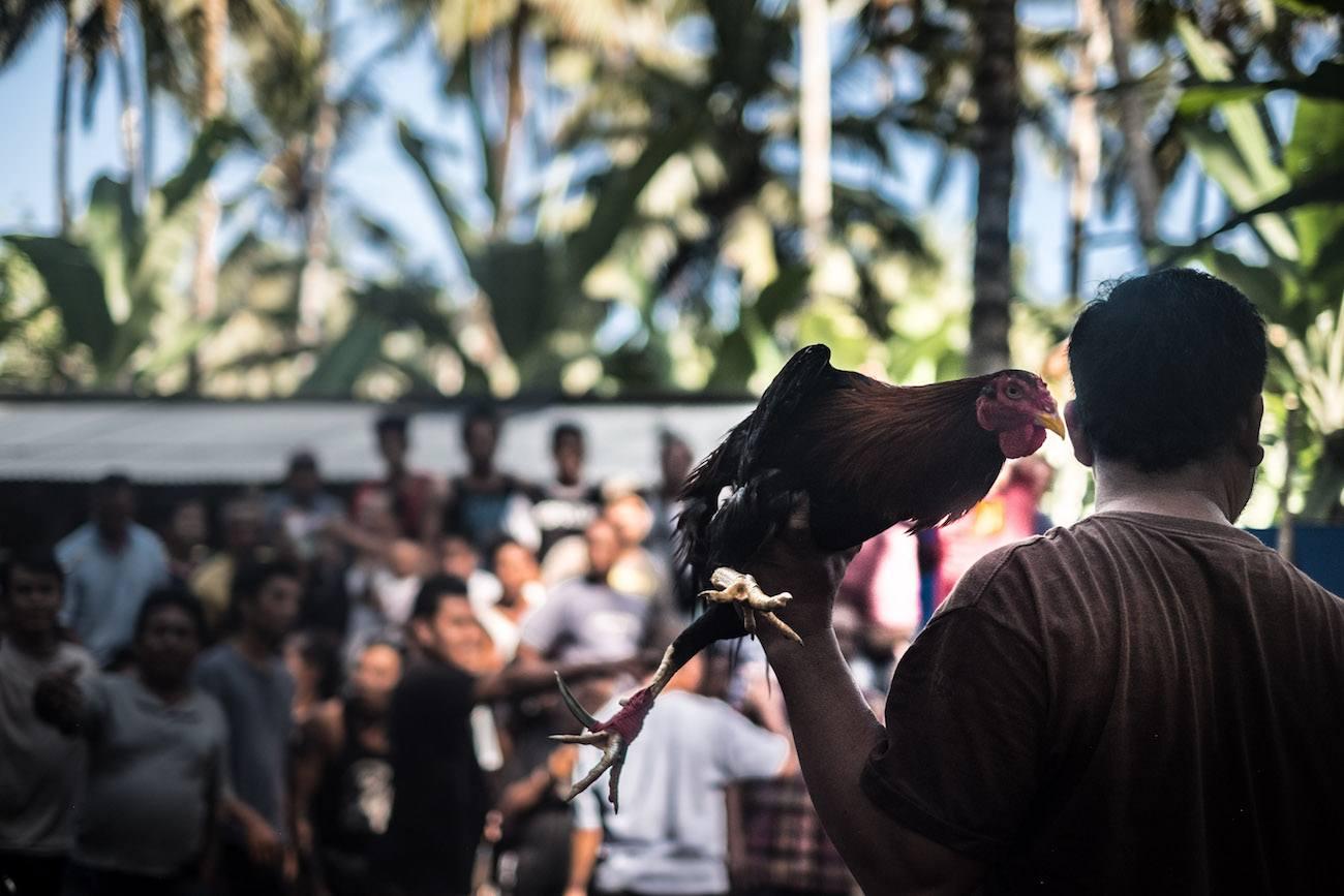 Hahnenkämpfe in Bali